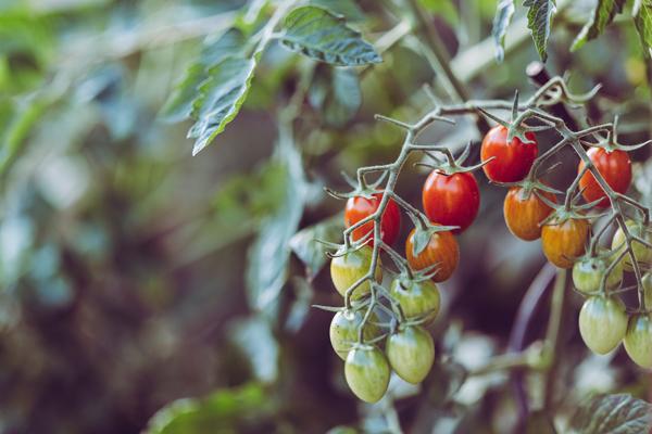 lavoratori stagionali per la raccolta dei pomodori